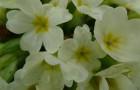 Prvosenka bezlodyžná (Primula vulgaris)