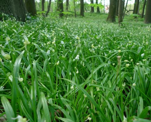 Česnek podivný, Allium paradoxum