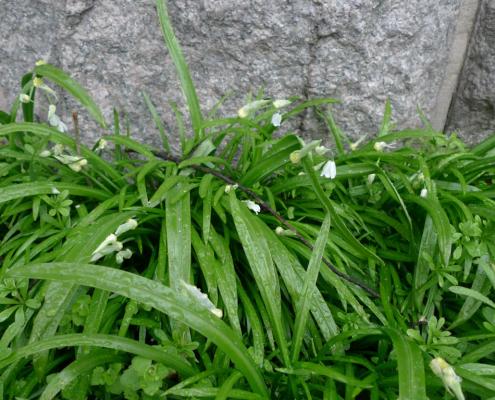 Česnek podivný (Allium paradoxum)