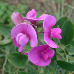Hrachor širolistý (Lathyrus latifolius