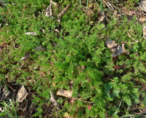 Vochlice hřebenitá (Scandix pecten-veneris)