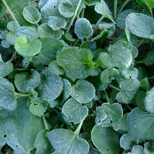 Barborka obecná (Barbarea vulgaris)