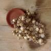 Modřenec arménský (Muscari armeniacum), cibule