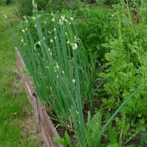 Cibule poschoďová (Allium cepa proliferum)