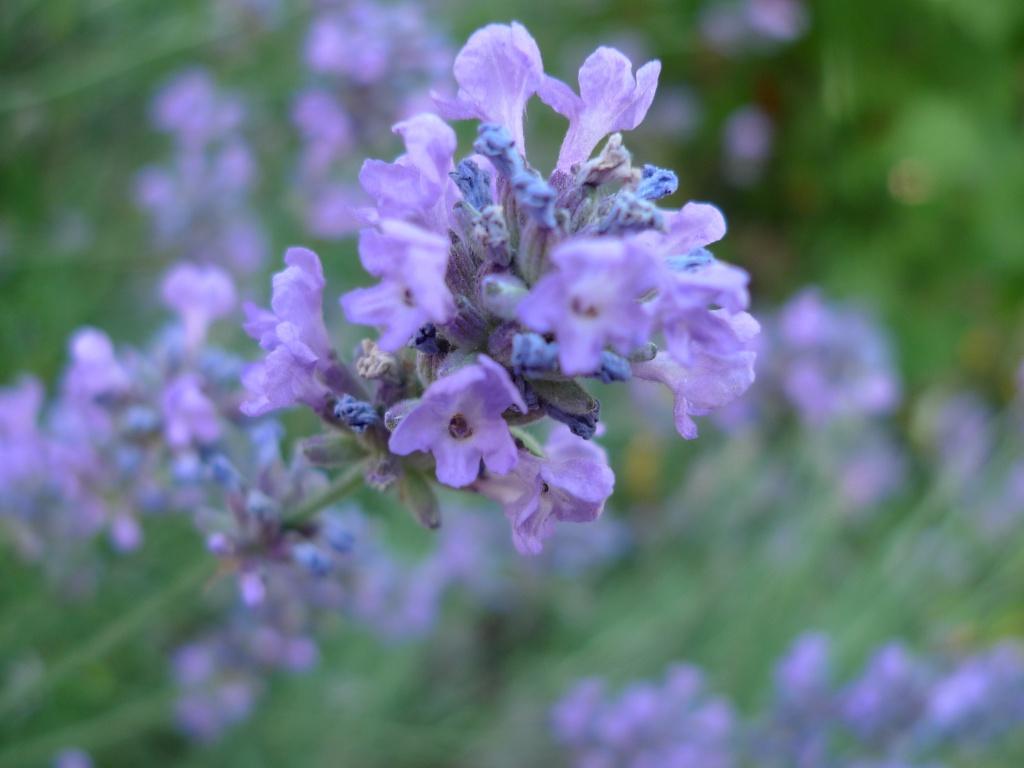 Levandule úzkolistá (Lavandula angustifolia)