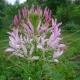 Luštěnice trnitá (Cleome spinosa