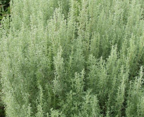Pelyněk pontický (Artemisia pontica)