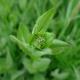 Vesnovka obecná (Cardaria draba)