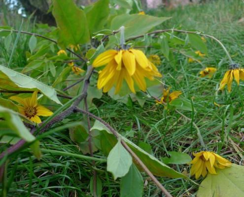 Slunečnice topinambur (Helianthus tuberosus)