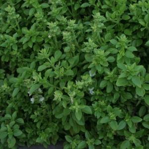Bazalka pravá drobnolistá (Ocimum basilicum, compacta)