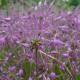 Česnek kýlnatý (Allium carinatum)
