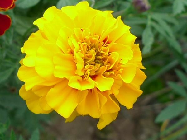 Aksamitník rozkladitý žlutý (Tagetes patula)