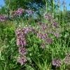 Česnek převislý (Allium cernuum)