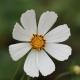 Krasenka zpeřená (Cosmos bipinnatus)
