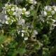 Lžičník lékařský (Cochlearia officinalis)