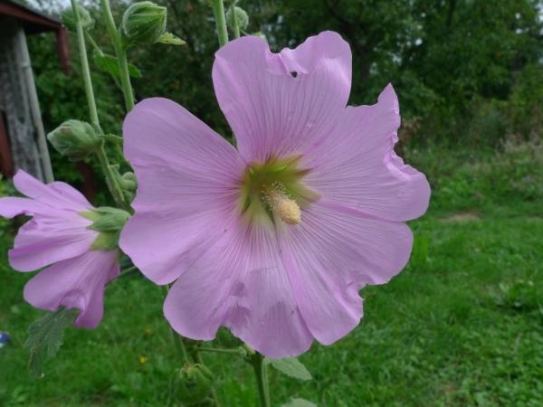 Topolovka růžová (Alcea rosea)