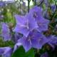 Zvonek broskvolistý (Campanula persicifolia)