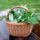 Přírodní fermentovaný čaj z listů maliníku