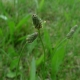 Jitrocel kopinatý (Plantago lanceolata)