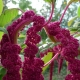 Laskavec ocasatý (Amaranthus caudatus )