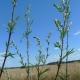 Pelyněk černobýl (Artemisia vulgaris)